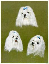 MALTESE WHITE TOY DOG FINE ART PRINT