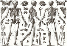 Art Poster - Human  BONES - 1850 - Medical - Anatomy  A3  Print