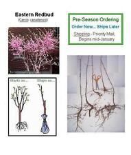 1 Redbud Flowering Tree, 20+in, Fast Growing Flowering Ornamental - Ships Now