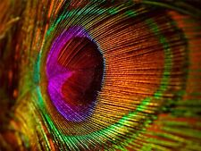 ART PRINT POSTER PHOTO MACRO CLOSE UP PEACOCK FEATHER LFMP0502