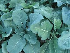 500 Georgia Collard Seeds Non-GMO Very Nutritious Wholesale Price Heirloom