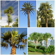 Palm Seed Collection - 5 Packets.Our most popular & hardiest palms. Save c30% !