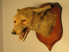 Antique Victorian Mounted Taxidermy Fox Head Mask Trophy Hunting C1900 Edwardian
