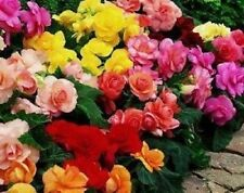 30+ GORGEOUS BEGONIA MIX FLOWER SEEDS ANNUAL
