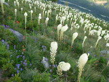 100 Graines Herbe Ours Vivace Spectaculaire (Xerophyllum) Bear Grass Seeds