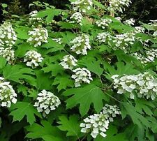 Hydrangea- Oak Leaf- 50 Seeds - 50 % off sale