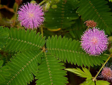 Mimosa pudica (Sensitive Plant* Moving leaves when touched) 30 Rare viable seeds