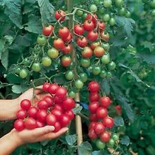 50 Hanging Cherry Tomato Seeds Vegetable Cheap & Easy BackyardGarden 4