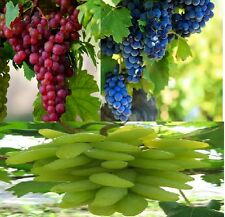 Bonsai Grapes  Combo : Rare red,green,blue grapes seeds-5 seeds each