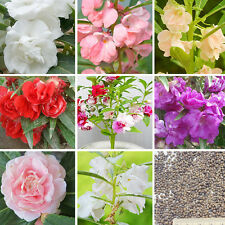 120Pcs Colorful Garden Balsam Seeds Impatiens Balsamina Garden Flower Decor