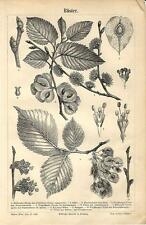 Stampa antica OLMO Ulmus minor ELM botanica 1890 Old antique print