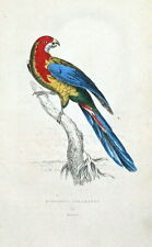 NONPAREIL PARAKEET, Australia hand coloured parrot antique bird print 1833