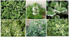 Variegated Pineapple Mint  Herb  Plant   25  Seeds