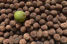 Pennsylvania Black Walnuts   hulled / in shell 2014 Crop 24 nuts roughly 1lb