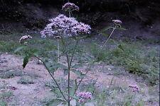20 Semillas Eupatorium cannabinum,Eupatorium c.#585