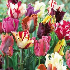 10 Tulip Parrot Mix,Beautiful colors, Fall Planting Bulbs.Shipping now!
