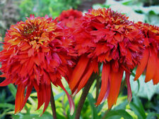 Echinacea Seeds - HOT PAPAYA - Coneflower - Deer Resistant Perennial - 15 Seeds-