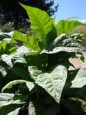 3020 Tobacco Seed 1005 Cigar Seeds, 1005 Kentucky Brown & 1010 Virginia Gold