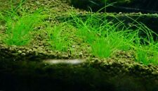 Live Aquarium Plant: [Dwarf Hairgrass] Eleocharis sp. 'mini' Tissue Culture