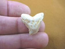"""s343-20) Extremely Rare 1-1/16"""" Fossil Tiger Shark Galeocerdo Tooth from Morocco"""