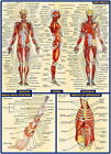 03 Human Anatomy All System Deep Muscles Map 24