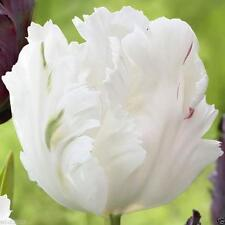 "10 Tulip Bulbs ""White Parrot"",Flowers in Late Spring, Now Shipping !"