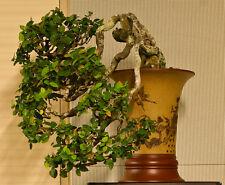 Climbing Fig (Ficus pumila) - 100 Seeds Bonsai or Feature
