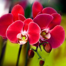 Unique Red Phalaenopsis Bonsai Butterfly Orchid Flower Seeds - 200 PCS