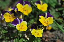 EDIBLE FLOWER PANSY VIOLA JOHNNY JUMP UP HELEN MOUNT 75 Professional seeds