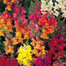 Nain Antirrhinum Tom Thumb snapdragon 100 plus belles graines