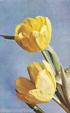 Yellow Tulips, artist drawn postcard, unposted