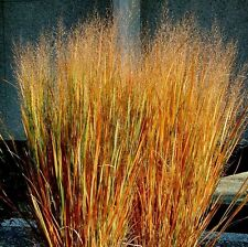 Dacotah Switch Grass- 200 Seeds - 50 % off sale