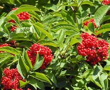 10 Blue Elderberry Seeds -Sambucus