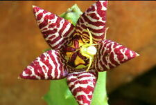 UNROOTED Piaranthus barrydalensis ***VERY RARE SPECIE*** STAPELIA ORCHID CACTUS
