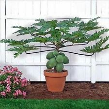Bonsai plant Dwarf Papaya Seeds TR HOVEY Carica L Caricaceae MINIATURE TREE 50