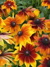 + 200 graines de Rudbeckia Fleurs *Autumn Forest* (Rudbeckia) Samen Seeds