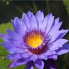 10pcs Semillas Diosa Azul Semillas Loto Lirio Agua Plantas fragancia Flores