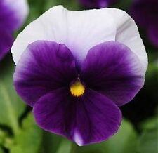 Pansy Seeds, Beaconsfield, Viola Seeds, Swiss Giant Pansies, Heirloom Seeds 50ct