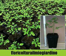 Piante di Moringa Oleifera - Miracle Tree / Drumstick