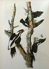 ANTIQUE 1937 AUDUBON PRINT - No. 66 IVORY BILLED WOODPECKER - FREE SHIPPING !!