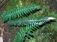 Pellaea falcata - Sickle Fern - 100 spore
