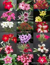 FLOWERING DESERT ROSE MIX, adenium obesum bonsai caudex succulent seed -15 seedS