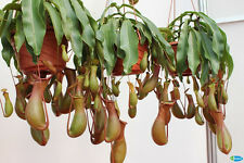 10Pcs Seeds Pitcher Plant Purpurea Foliage Carnivorous Shades Flower Garden New