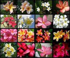 24 Hawaiian Lei Tree Plumeria frangipani tip cuttings Rare Exotic Fragrant