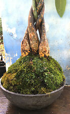 "HUGE BRAIDED MONEY TREE BONSAI!!! 10"" Base! 2' Tall!!"