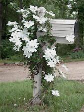 """CLEMATIS ~White~ """"Henryi"""" Wonderful large blooms Hardy 5+ Perennial Seeds"""