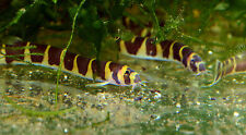 Siamese Giant Kuhli Loach 2 inch Large Active Fish
