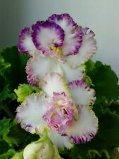 LE-Coco Chanel NEW 2015 Pflanze/Plant African Violet Usambaraveilchen