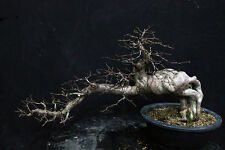 Korean Carpino BONSAI... SEMI ALBERO A CASCATA
