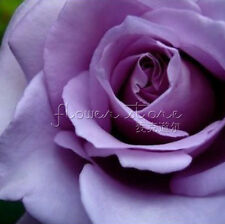 20 Purple Rose Flower Seeds gorgeous Garden Plant eye catching garden center